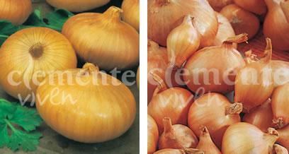 Variedades de cebolla de Clemente de color amarillo y chalotas