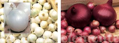 Variedades de cebolla de Clemente roja y blanca