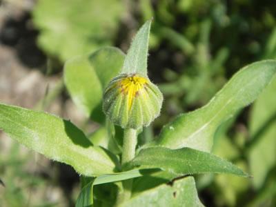 Boton floral de Calendula