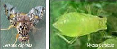 Ceratitis capitata y Myzus persicae