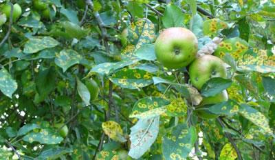 Enfermedad en manzano