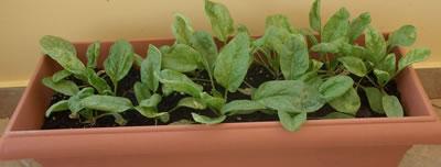 Espinacas en jardinera