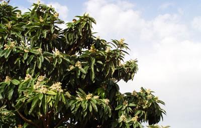 �rbol de níspero en plena floración