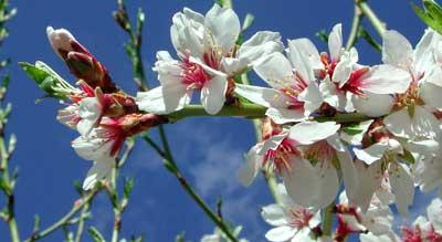 Flor de almendro en rama
