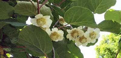 Flores de kiwi