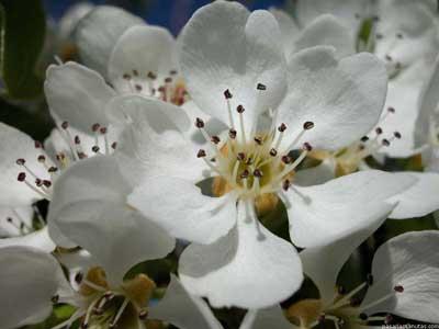 Flor de peral