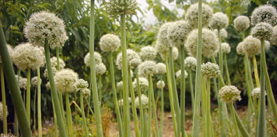 Flores de cebolla