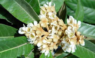 Flores de Nïspero