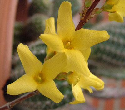 Flor de Forsythia