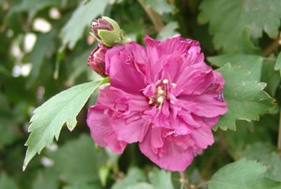 Flor doble hibiscus syriacus fucsia