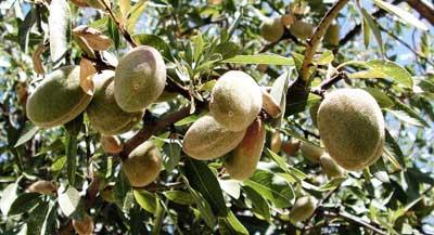 Fruto de almendro en arbol