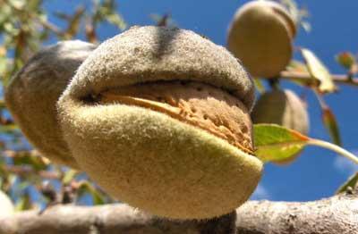 Fruto de almendro