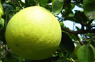 Fruto verde de pomelo
