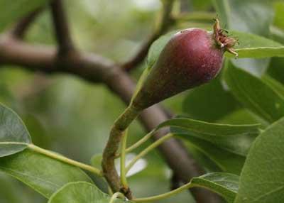 Fruto en arbol de peral