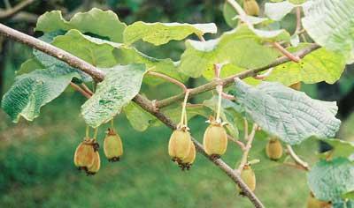 Frutos de kiwi pequeños en arbol
