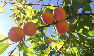 Frutos de albaricoque en arbol