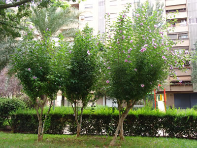 Hibiscus syriacus en alineación