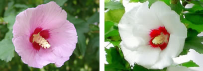 Flores Hibiscus syriacus