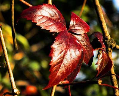 Hoja de Ampelopsis en rojo