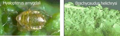 Hyalopterus amygdali y Brachycaudus helichrysi