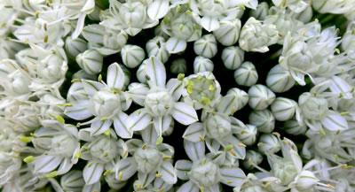 Inflorescencia de cebolla