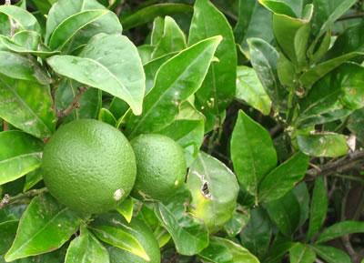 Daños en limonero
