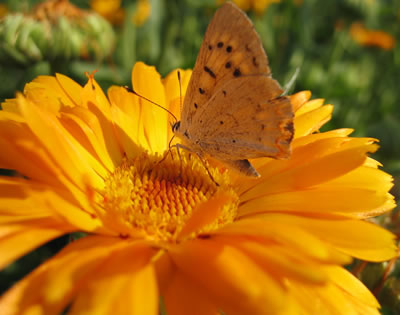 Flor de Calendula con mariposa