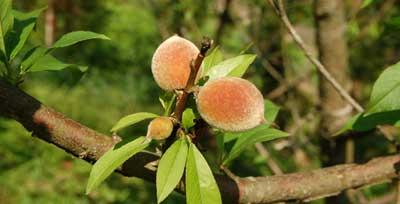 Melocotones pequeños en arbol