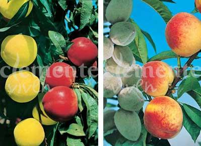 Nectarina mixto y Almendro mixto de Clemente Viven