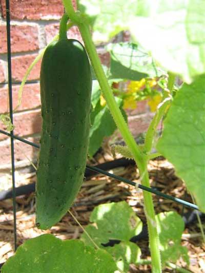 Pepino en planta