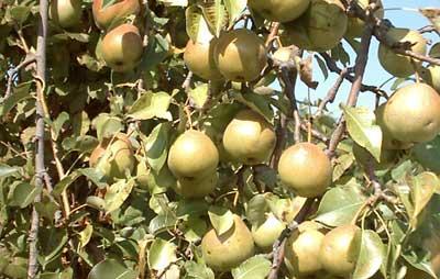 Peras en arbol