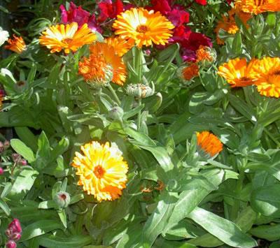 Plantas de caléndula