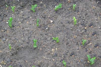 Plantitas de Guisante