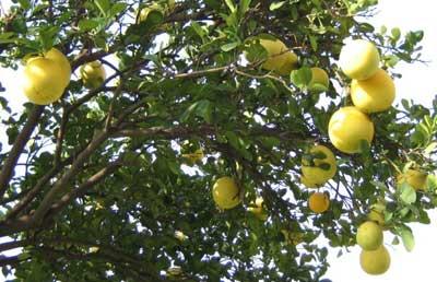 Pomelos en árbol amarillos