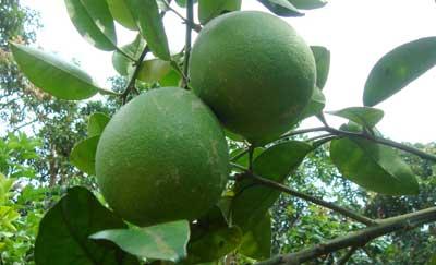 Pomelos en arbol, verdes