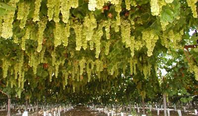 Fruto de la vid, uvas
