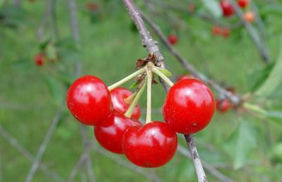 Ramillete de cerezas en árbol