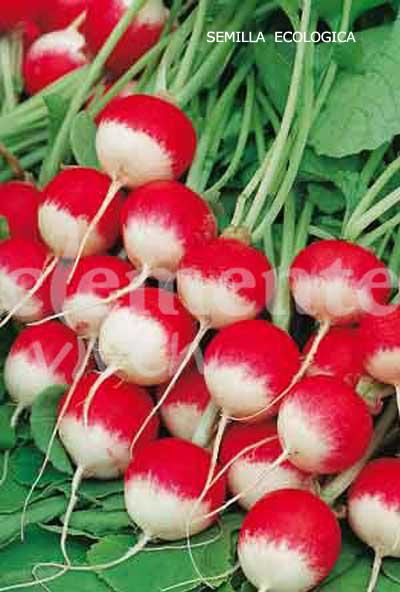 Variedad ecologica de Clemente Viven Redondo rojo punta blanca