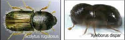 Scolytus rugulosus y Xyleborus dispar