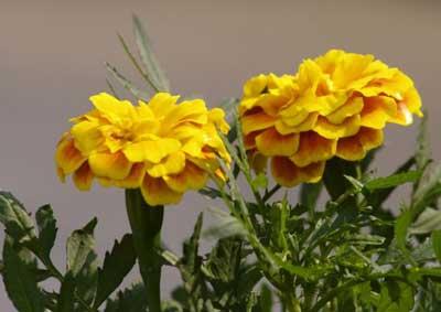 Tagetes patula amarillos