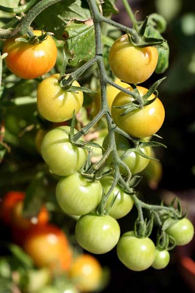 Tomates en ramillete