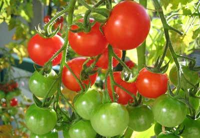 Tomates en planta rojos y verdes