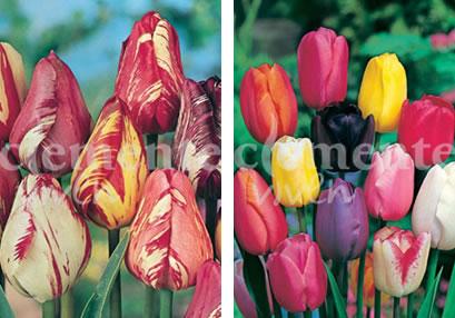 Tulipán Rembrand y Darwin de Clemente Viven