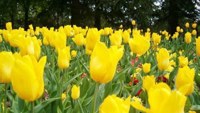Tulipanes amarillos en jardín