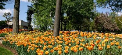 Tulipanes naranja en el jardín