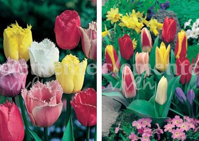 Tulipán Crispa y Kaufmanniana de Clemente Viven