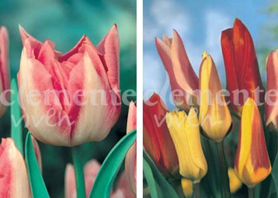 Tulipan Doble y Fosteriana de Clemente Viven