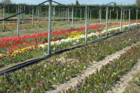 Los jacintos van perdiendo flor