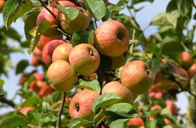 Manzana en �¡rbol