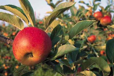 Manzanas en árbol